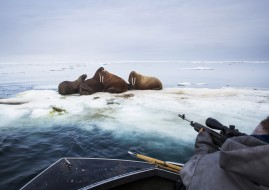 "Input hunters harvest walrus in the Arctic Ocean near Barrow, Alaska. Hunters looked for ugruk (bearded seal) after the sea ice ""went out"" but came upon hundreds of walrus instead. Walrus this close to town during this time of year is rare and most likely due to warming weather."